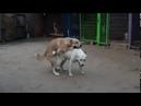 Алабаи. Свободная вязка собак. Это - любовь!