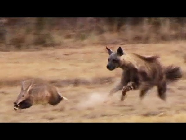 Aardvark Anteater Tries to Outrun Hyena in an Epic Chase