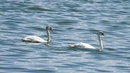 4 июня 2020, лебеди на Шарташе