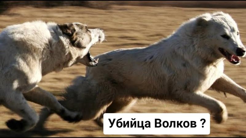 АЛАБАЙ ПРОТИВ ВОЛКА Убийца волков