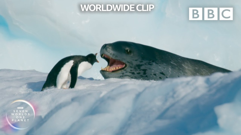 Can this daring penguin outrun a leopard seal TWICE 😰 Seven Worlds One Planet BBC Earth