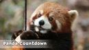 【Panda Countdown】Panda Appears From Nowhere Drowsy Baby Panda Cutie Red Panda iPanda