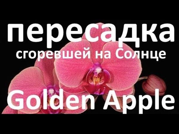 пересадка ОБОЖЖЕННОЙ Солнцем ОРХИДЕИ Golden Apple Coral Золотое Яблоко коралловый цвет