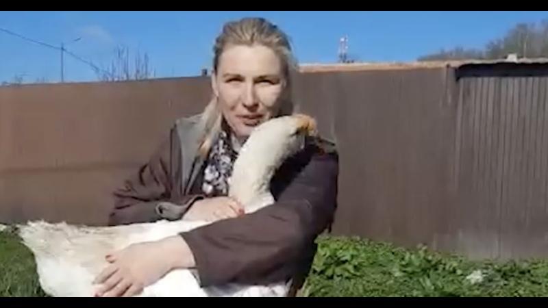 В Калининграде хозяйка гуся ищет ему невесту