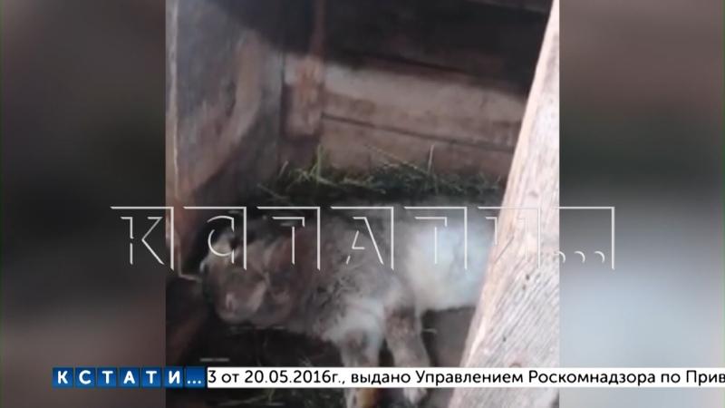 Жители Выксунского района напуганы нападением неизвестного трехпалого зверя подозревают Чупакабру