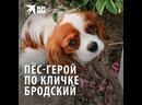 Пёс-герой по кличке Бродский