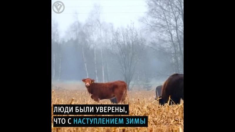 Корова авантюристка