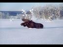 Загонная Охота на Лося пробежал 150 метров