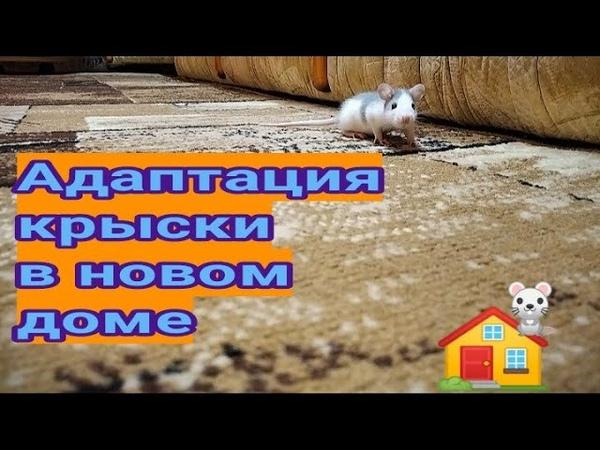 Видео от нашей подписчицы Инна Филькина Адаптация крысы в новом доме Как помочь питомцу привыкнуть